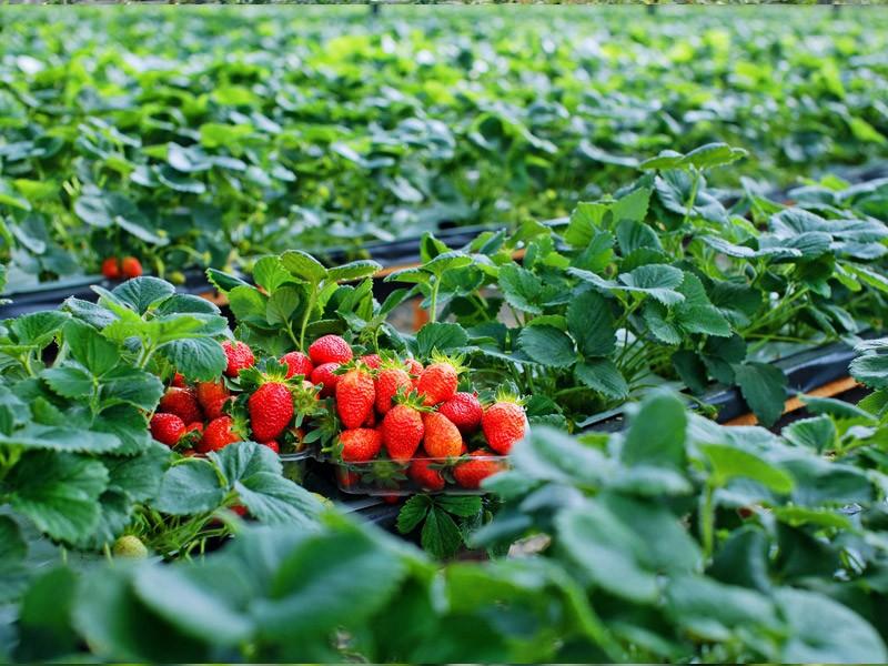 Strawberry farm in Da Lat