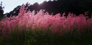 pink flower hill Da Lat