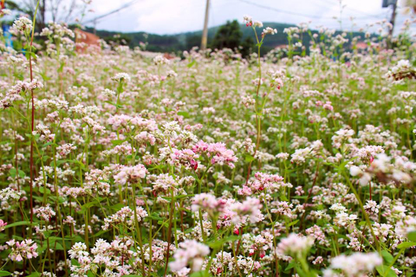 flower season of da lat
