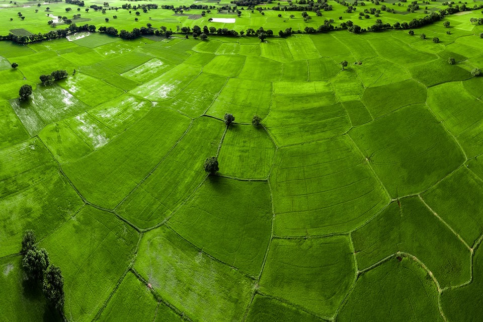 paddy-field-an-giang