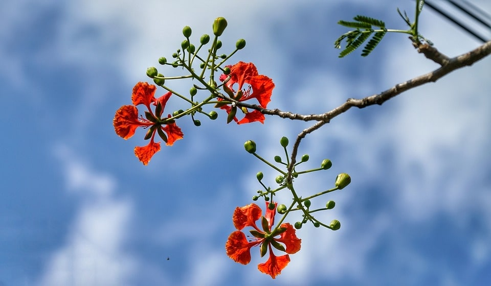 red-poinciana-flowers