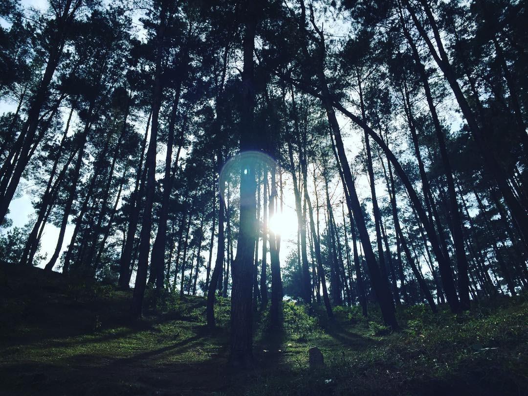 Yen Minh pine forest